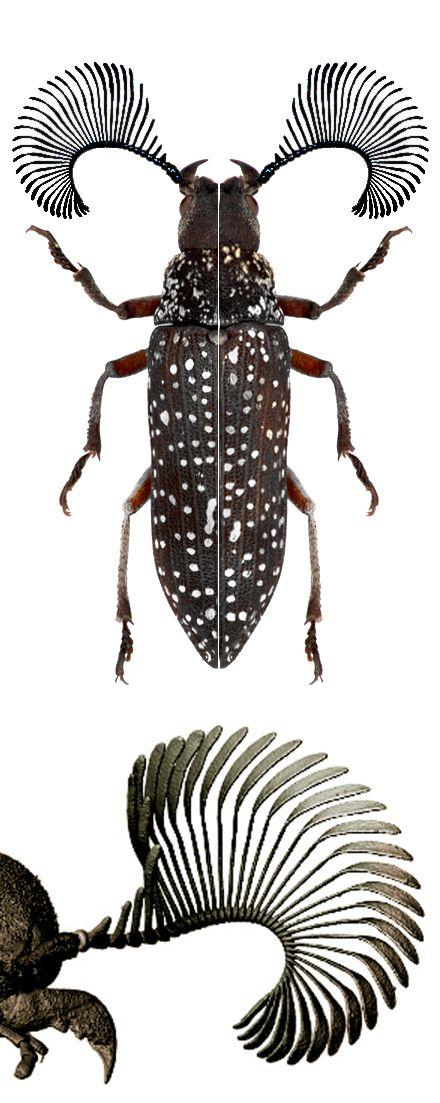 Rhipicera femoralis                                                                                                                                                                                 More