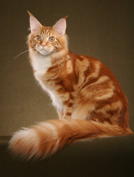 Oh boy how beautiful maine coon cats are! Luv them