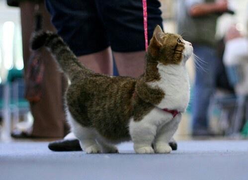 Short legged cat