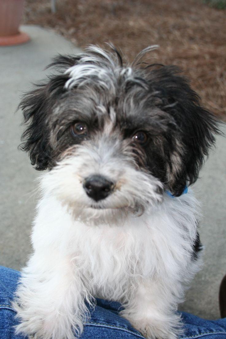 Havapoo Puppies For Sale California 2021