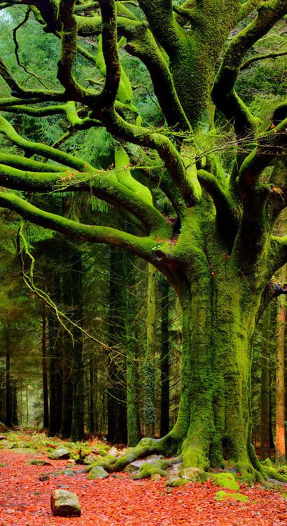 'Broceliande: The Beech of Ponthus' in Le Perthuis-Neanti, Brittany, France --- photo by Phillippe Manguin Photographies on Flickr