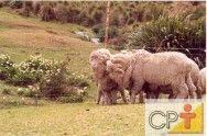 Ovinos para produção de lã: raças mistas