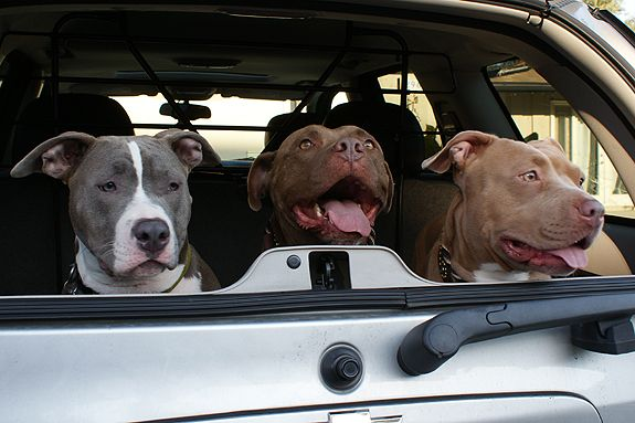 pretty pitties: Dogs Mind, Pitti Luv, Cars, Dogs Show, Goofy Pitti, Pitti Grin, Walks The Dogs, Therapy Dogs Lov, Pretty Pitti