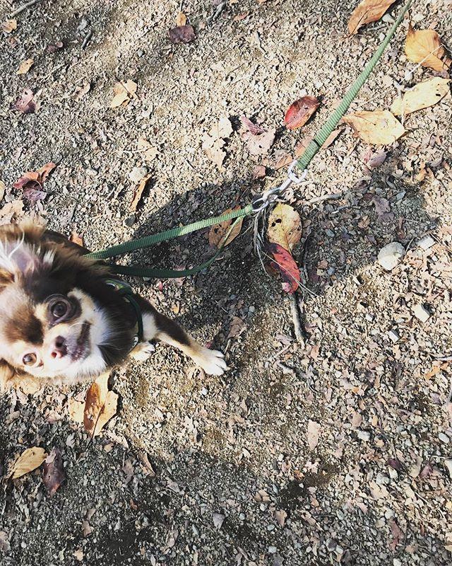 ちろとちろ陰(*´∇`*)♡ もう秋も終わりですね🤣 #チョコタン#チワワ#dog #chihuahua #dog #愛犬#ちわわ部 #チロスタグラム#ちろるちゃん #チロルくん #ちわわんこ #チワワ#dog #dogstagram いぬ🐶 #いぬすたぐらむ #わんすたぐらむ #公園デート#公園#ピクニック#秋#暇つぶし