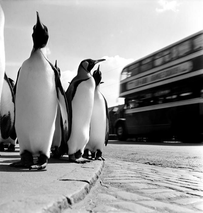 Werner Bischof - Penguins of Edinburgh Zoo making their weekly stroll to draw visitors. 1950. S)
