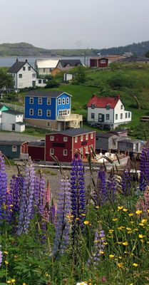 Beautiful Lupines, Trinity, NL, Canada <3