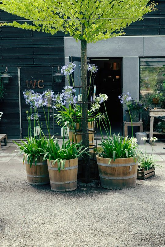 Afrikas blå lilja I Zetas Trädgård