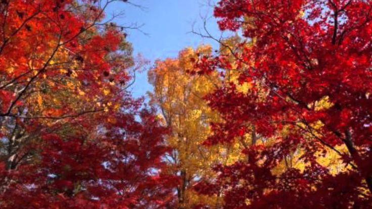 【日本紅葉の名所100選】もみじ山(兵庫県) ( Autumn leaves, 단풍, les feuilles d'automne, hoja...