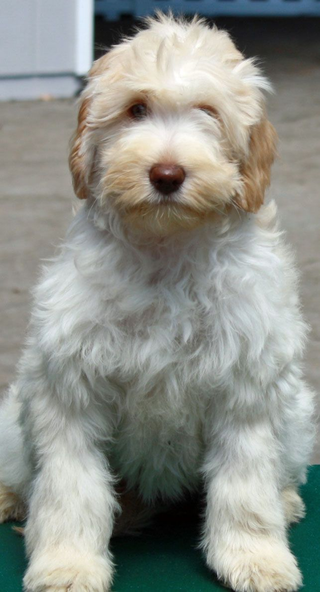 Meet Darla--our newest member @ FernRidge Labradoodles. Medium, Carmel Ice color. She's a heart breaker!