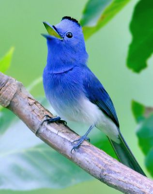 So if you've ever wondered what the Twitter bird would look like in real life, then look no further than for the Black-naped Monarch or Black-naped Blue Flycatcher (Hypothymis azurea. It's a small bird, with males only reaching lengths of 16 cm - which makes it even cuter. I just love all things little!: Black Naped Monarch, Pretty Birds, Beautiful Birds, Animal