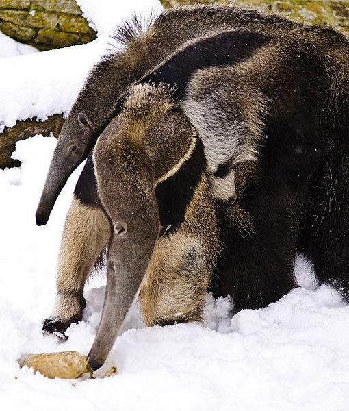 Giant anteaters Maroni and Choccy are enjoying having fun in the snow at Longleat Zoo in Wiltshire, England. Little Choccy is getting so big!