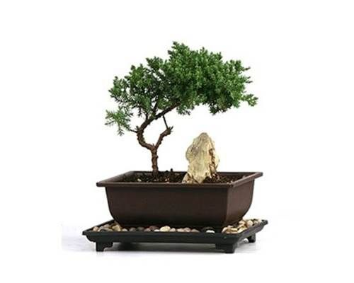 The Juniper bonsai tree has long been recognized as one of bonsai most prized species. The flexibility of the branches and easy pruning make it an ideal choice for bonsai hobbyists.