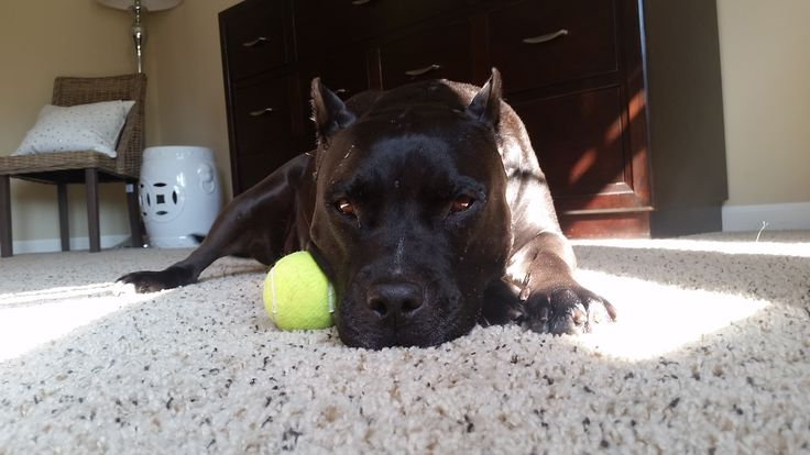 Hi I'm Roxy I love short walks my tennis ball my peeps and lots of naps #rescue #pibble #gooddoggo #lover http://ift.tt/2HU1F5n