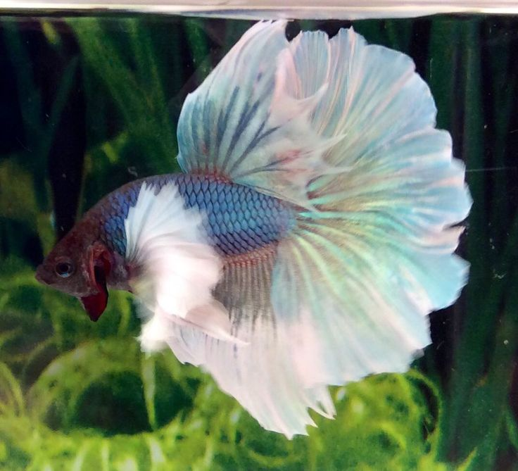 4567 best images about fighting fish on pinterest