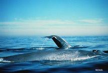 Blue Whale Facts: Blue whales are cetaceans.