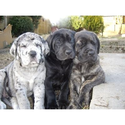 This would be such a perfect dog for me!  I love them both sooo much! Mastidane or Daniff [mastiff/great dane] puppies.  Love the merle one.