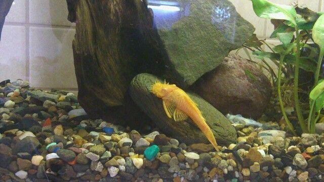Сом /#аквариум