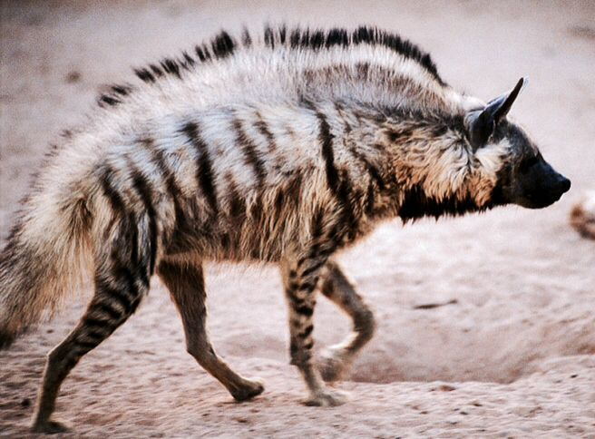 The hair of the striped hyena is long (shorter in summer than in winter), gray-white to yellowish brown on the sides, legs, and back, with black cross-stripes. Their stiff, black mane on the neck and back is erectile in anger and fear, giving the hyena a larger and more formidable aspect. There is a large black patch on the throat.