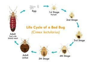How to get rid of bed bugs  The life cycle of bed bugs and how to get rid of bed bugs.