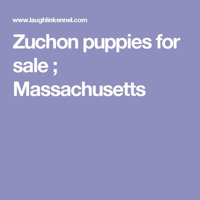 Zuchon puppies for sale ; Massachusetts