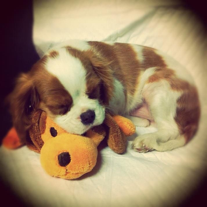 Cavalier puppy. Someday I will have my own again. Great breed! So friendly!