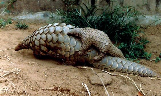 "Conservationists are battling to save the pangolin, the most illegally traded animal in the world, before it is ""eaten to extinction""."