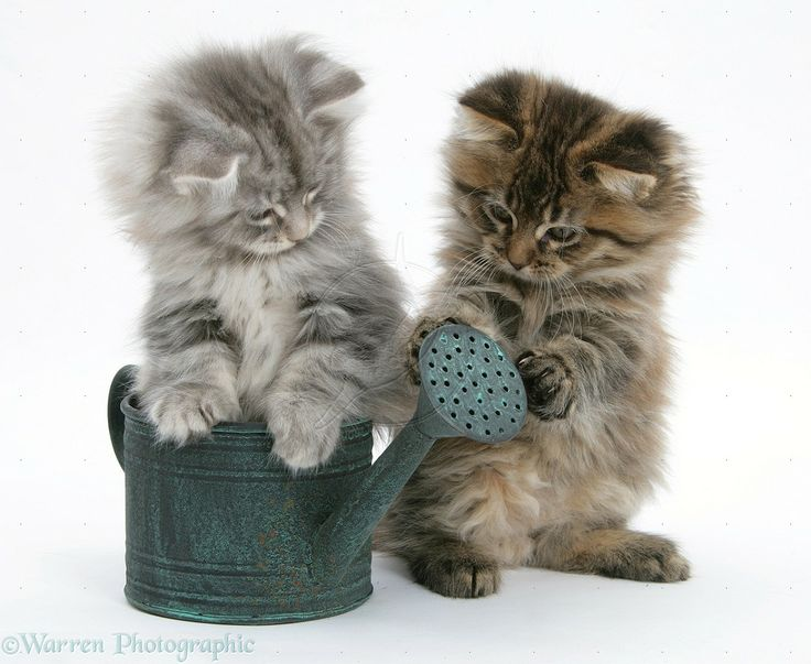 maine coons | Maine Coon kittens playing with a small watering can