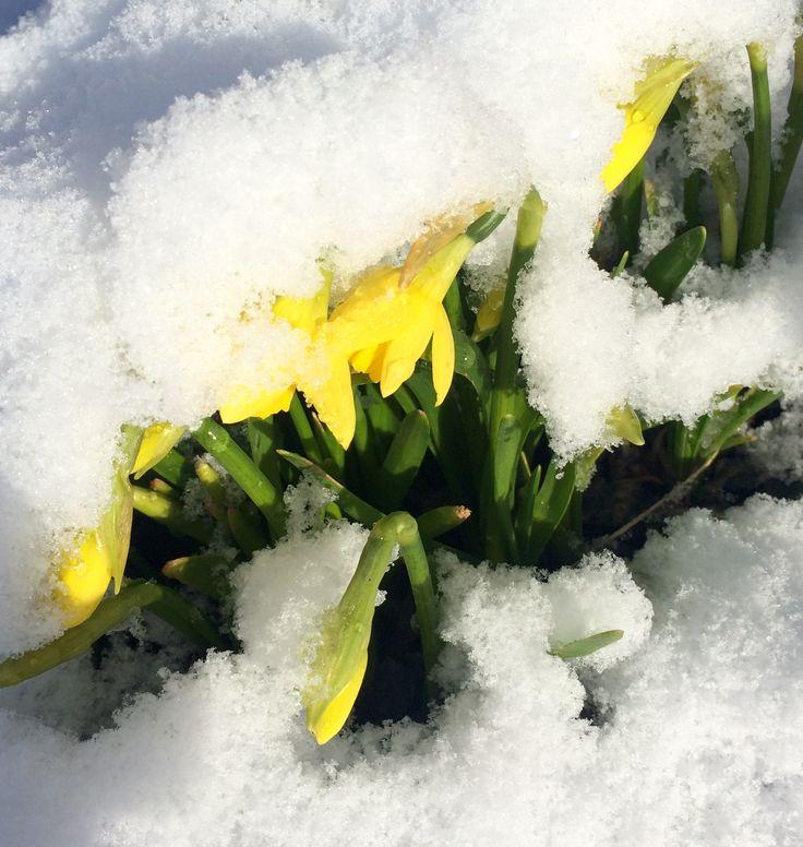 Нарциссы под снегом в Норвегии🤗❄️☀️