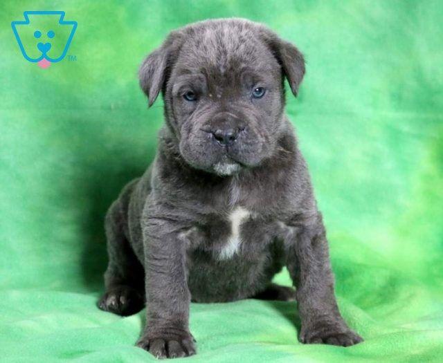Checkers Cane Corso Puppy For Sale Keystone Puppies In 2020 Cane Corso Puppies Puppies For Sale Cane Corso
