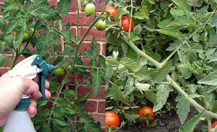 S týmto domácim hnojivom moje paradajky a uhorky rastú rýchlejšie a nie sú napadnuté žiadnym škodcom ani chorobou! | Báječné Ženy