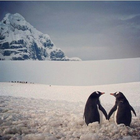 Penguins mate for life and are extremely loyal.