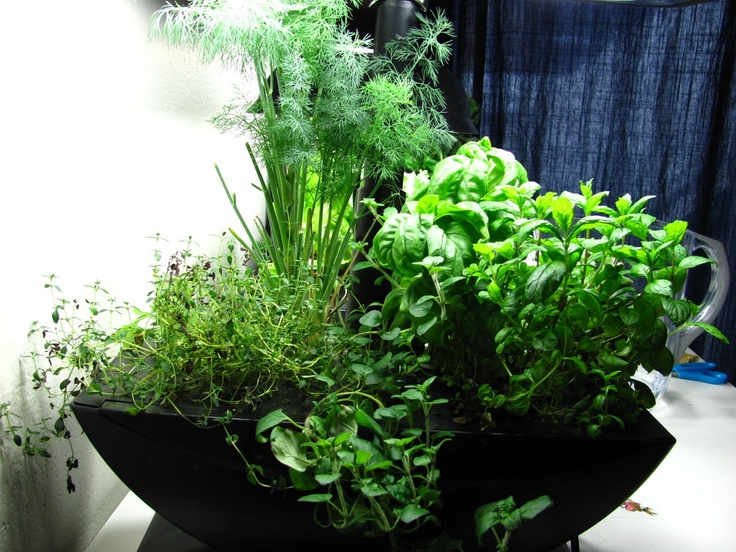 1000 Images About Growing Herbs Indoors On Pinterest 400 x 300