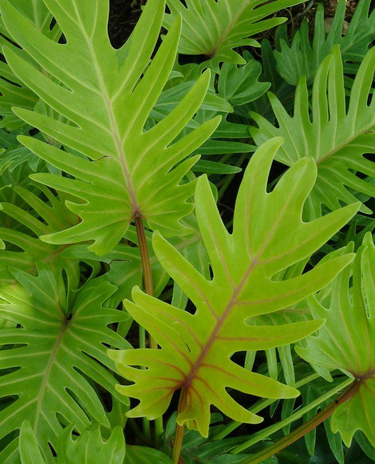 Chicago, Garfield Park Conservatory, Golden Xanadu Philodendron (Philodendron Xanadu Araceae) #plantwishlist