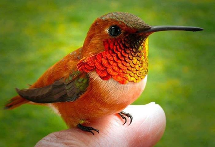 Smallest Bird In The World - The Bee Hummingbird, Cuba