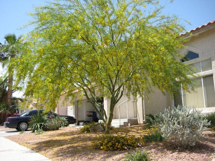 Cercidium floridum palo verde desert museum 35 h 30 w native to
