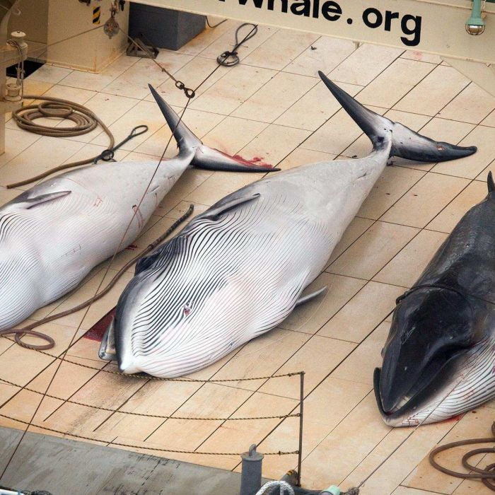 International court orders Japan to immediately stop whaling in Antarctic