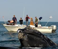 Animal encounters - Right whales, Bay of Fundy, Canada