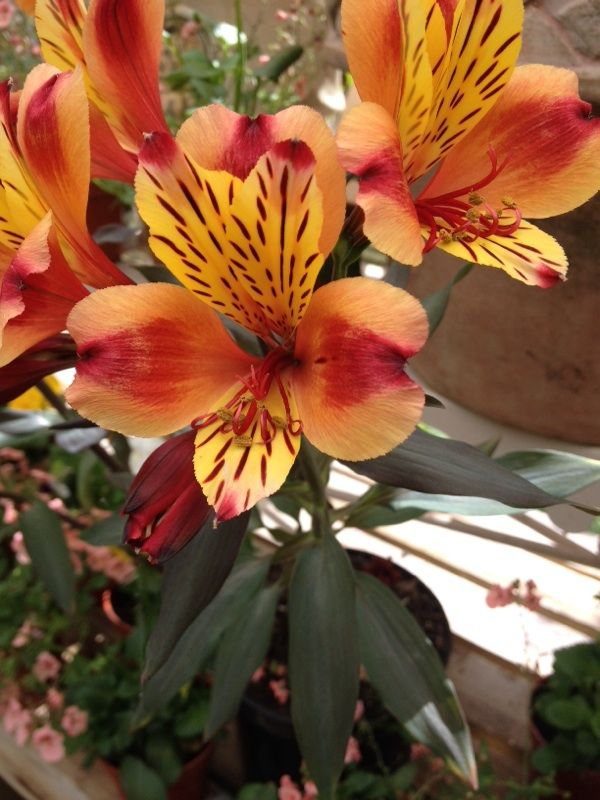 Peruvian Lily Alstroemeria Your Lovely Flower Is An Alstroemeria And Is Prized By Florists As A Plant It Grow In 2020 Blooming Plants Peruvian Lilies Alstroemeria