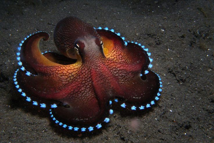 blue glowing coconut octopus