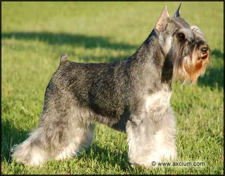 Toelettatura schnauzer ~ 42 best miniature schnouzer images on pinterest mini schnauzer