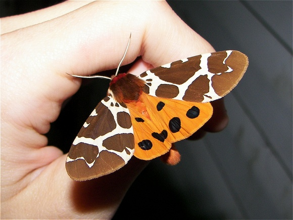The lovely Garden Tiger Moth (Arctia caja), photographed in New York by Shane Samsa via Project Noah