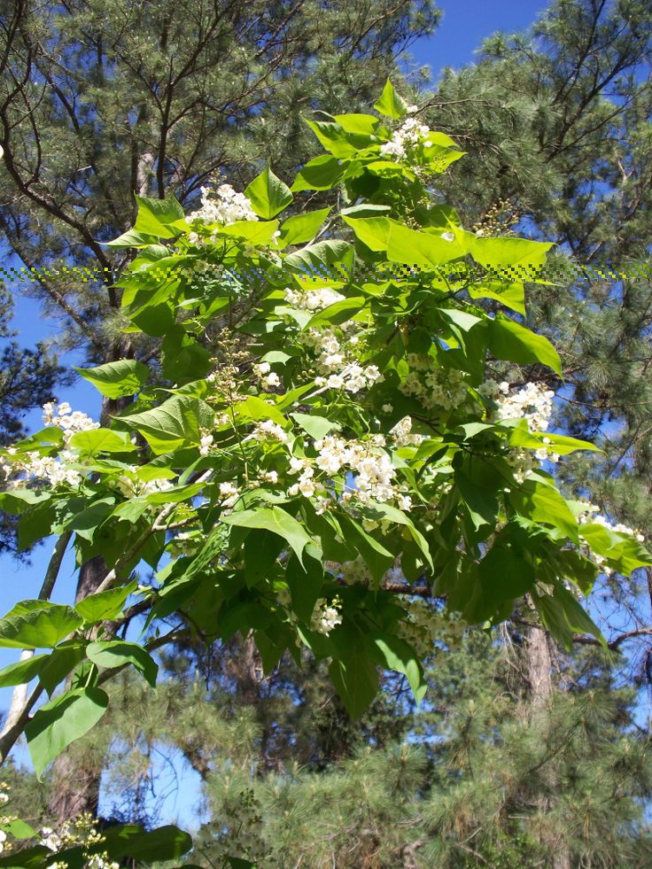 Part of my catawba tree in full bloom.