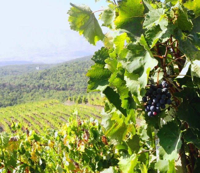 naousa grapes, vineyards of historical Macedonia, northern Greece