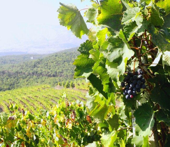 naousa grapes, vineyard