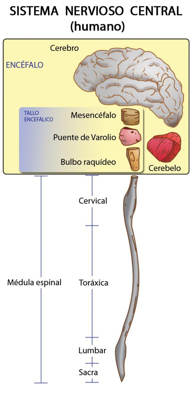 Composición del sistema nervioso central