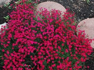 """Dianthus Tiny Rubies  Highly fragrant clove-scented fragrance      100's of charming pink flowers in early summer      Evergreen foliage stays attractive all season Sun ground cover that is ultra hardy to Zone 3 Shop All Fragrant Plants    Zone 3,4,5,6,7,8,9  Blooms Late Spring-Early Summer  4-5"""" X 12""""Special Features: Butterfly Lovers, Cold Hardy, Cut Flower, Deer Resistant, Disease Resistant, Drought Tolerant, Easy Care, Evergreen, Fast Growing, Fragrance, Heat Tolerant, Pest Resistant"""