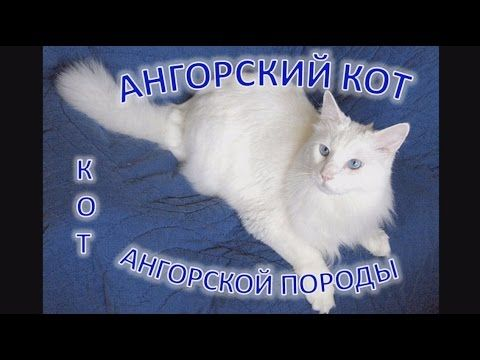 Ангорский кот (ангорка): коты ангорской породы