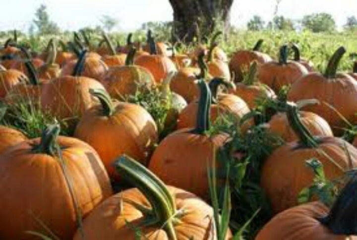 Best Pumpkin Picking Farms Long Island