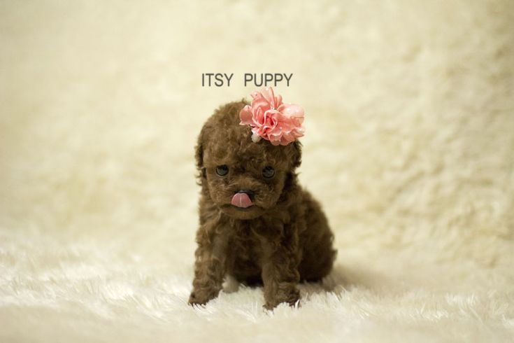 SOLD**Kelly - Female Micro Poodle | ITSY PUPPY | Teacup & Microteacup Puppies for Sale | ITSY PUPPYITSY PUPPY | Teacup & Microteacup Puppies for Sale | ITSY PUPPY