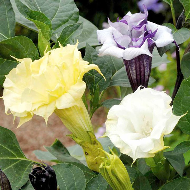 Perennial Datura metel Moonflower Purple Angels Trumpet Tropical seeds Annual